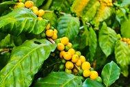 Thumbail for Guatemala Nueva Montana Honey - #0