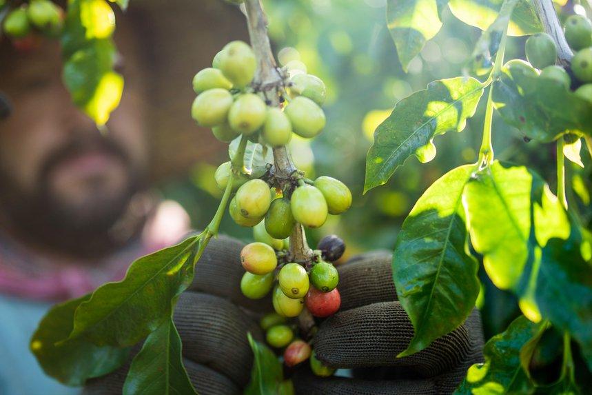 100 Fancy Kona by Waikiki Coffee - image 0