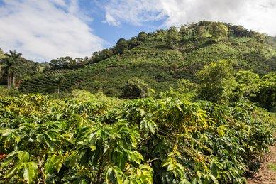 Ethiopian coffees