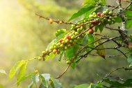 Thumbail for Sumatra Takengon Mandheling - #0